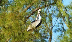 20180210_22 DuBois Park Jupiter Florida USA (FRABJOUS DAZE - PHOTO BLOG) Tags: duboispark dubois jupiter palmbeachcounty pbc fl fla florida usa yhdysvallat sunshinestate pelican brownpelican pelikaani lintu bird