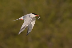 Common Tern with fish. (mandokid1) Tags: canon canon500f4 1dx birds waterfowl