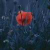 Blue Velvet (una cierta mirada) Tags: flower flowers nature blue red bluevelvet colors spring poppy poppies macro closer