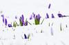 Just Before The Rain Came (williamrandle) Tags: crocus winterfollowers winterblooms winter snow hadenhillpark westmidlands uk england 2018 beauty dof depthoffield lowangle outdoor panasonicg6 green white purple flower