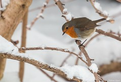 Another Cheeky Robin... SOS :-) (Different Aspects) Tags: smileonsaturday beautyofthebeast robin bird