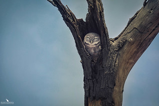 Little Spotted Owl Sleeping