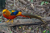 Golden Pheasant, Birds of Eden, Plettenberg Bay (Peter Cook UK) Tags: garden route chrysolophus pictus south golden bay birds tour plettenberg eden africa pheasant