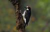 Acorn Woodpecker (steve whiteley) Tags: bird birdphotography wildlife wildlifephotography nature woodpecker acornwoodpecker melanerpesformicivorus costarica