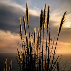 Golden Plumes (San Francisco Gal) Tags: pampasgrass grass plume sky cloud goldenhour sunset bigsur lucia ngc