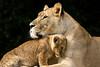 Motherhood (Anita van Rennes) Tags: smileonsaturday beautyofthebeast lion cub leeuw welp motherhood