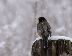 Late Snow and Robin (snooker2009) Tags: bird winter snow nature wildlife robin migration pennsylvania spring fall