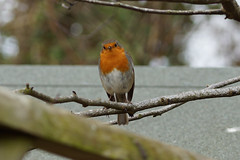 Robin (Erithacus rubecula) (steve_whitmarsh) Tags: aberdeenshire scotland nature wildlife animal birds feathers robin