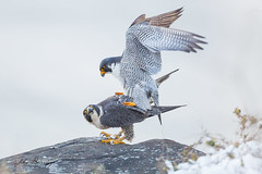 Peregrine Mating (johnbacaring) Tags: peregrine falcon peregrinefalcon mating wildlife nature birding birds winter palisades newjersey audubon audubonsociety