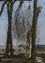 wildlands-emmen-25 (voorhammr) Tags: 2018 juul robin apen emmen giraffen ijsberen neushoorn nijlpaard pinquins prairiehonden vlinders wildlands zeeleeuwen zoo drenthe nederland nl