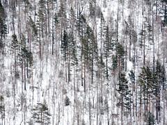 Birch trees 樺樹 (MelindaChan ^..^) Tags: birch trees 樺 樹 樺樹 trunk wood plant winter snow branch chanmelmel mel melinda melindachan siberia russia 俄羅斯 西伯利亞 lakebaikal 貝加爾湖 ice cold travel tour lake baikal
