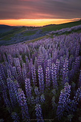 Lupine Madness (Bob Bowman Photography) Tags: lupine landscape flowers sunset california light northerncalifornia color purple nikon