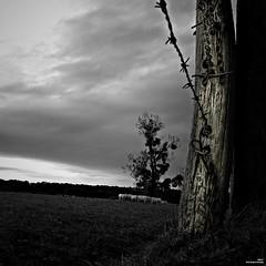 Sous les barbelés (Un jour en France) Tags: monochrome carré square barbelés nature arbre vache ciel cielpaysage ef1635mmf28liiusm canoneos6dmarkii noiretblancfrance noiretblanc