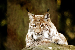 Europäischer Luchs - European Lynx (vampire-carmen) Tags: luchs lynx raubkatze predator beastofprey europäisch european europe lohberg nationaltierpark zoo wald forest bäume trees felsen rock bobcat rrëqebull ሊኒክስ الوشقحيوان vaşaq լուսան katamotza ris рис amphaka 猞猁 los linko ilves musang lince λύγκασ લિન્ક્સ לִינקס बनबिलाव リンクス לינקס ಹೆಬ್ಬೆಕ್ಕು сілеусін linx сүлөөсүн 살쾡이 agitarelyncas lūsis lūšis sakadia linċi कॅनडातआढळणारामांजराच्याजातीचाप्राणी шилүүс gaupe سیاهگوش ryś râs рысь lioncs lo kangna yokuspain گوش giốngmèorừng லின்க்ஸ் లింక్స్ แมวป่าชนิดหนึ่ง rys vaşak рись hiúz لینکز silovsin 貓 قط rånkatt 搶劫貓