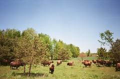 "Bison (dreamscapesxx) Tags: olympusxa1 ""safeway200film"" expiredfilm pointandshoot analog 35mm filmisgood bison inthecountry michigan"