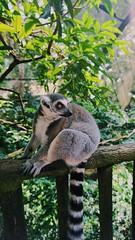 Lemur in the Singapore Zoo (macyllm2002) Tags: sony sonyemount monkey green jungle animal lemur sonya5000 zoo singapore