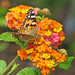 12 Days of Christmas Butterflies - #3 Painted lady in lantana