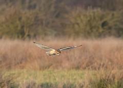 Another Shortie (Lutra56) Tags: shortearedowl asioflammeus lincolnshire britishbirds britishbirdsandwildlife birds owls naturephotography nature wildlife