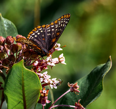Biennale Ready (Portraying Life, LLC) Tags: michigan usa butterfly k1 pentax da3004 hd14tc flower milkweed closecrop handheld nativelighting