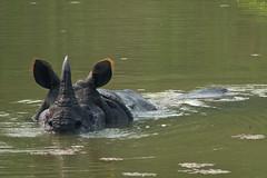Panzernashorn / Indian rhinoceros (Rhinoceros unicornis) (uwe125) Tags: tiere animal panzernashorn rhino indien chitwan nationalpark nepal wildlife säugetier
