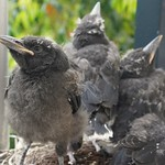 Currawong chicks nearly ready to leave the nest thumbnail