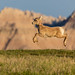 Leaping Young Bighorn Sheep