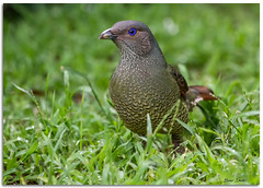 Satin Bowerbird (Bear Dale) Tags: satin bowerbird scientific name ptilonorhynchus violaceus ulladulla southcoast new south wales shoalhaven australia beardale lakeconjola fotoworx milton nsw nikond850 photography framed nature nikon d850 nikkor afs 200500mm f56e ed vr bird birds birding grass green naturephotography naturaleza eyes eye ngc