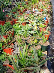 Fred Retes Nursery (M.P.N.texan) Tags: plant plants aloe nursery succulent succulents