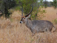 Waterbuck (anacm.silva) Tags: waterbuck antílope mammal wild wildlife nature natureza naturaleza africa áfricadosul áfrica southafrica kruger krugernationalpark knp coth5