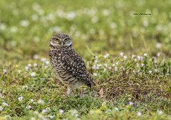 Burrowing owl (Mike_FL) Tags: burrowing owl brian piccolo park nikon nikond7500 tamron100400