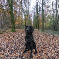 GOPR2845_20181113_155404 (KJvO) Tags: autumn dog flatcoatedretriever herfst hond pipa puppy questionsflightoneinamillion animal blackdogsrule dier dogadventures flatcoataddiction flatcoatedlovers flatcoatedretrieversofinstagram flattiemoments flattieoftheday freestyleretrievers instadogs retrieversofinsta