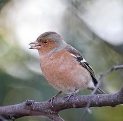Chaffinch Fringilla coelebs (Stuart Carlton) Tags: chaffinch fringillacoelebs birds finches garden nottinghamshire canon500mmf4 7d2