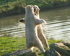 polar dance (dan487175) Tags: white water whitefur wildlifepark wet wiskers walk ears eyes enclosure rocks rippels yourkshire ywp yorkshire yorkshirewildlifepark uk ursus ursinae urso ursusmaritimus unitedkingdom cute fur fun icebear idiot orso outdoors paws polarbear playing pool polar park pond paw projectpolar animal adorable animals antics summer silly smile doncaster dayout funny furry feet fight grass green giant hug kuma lake zoo bear mammal dance
