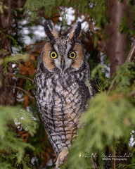 Long-eared Owl (Bill McDonald 2016) Tags: owl longeared avian bird raptor ontario toronto 2018 november autumn fall perched roosting perching billmcdonald wwwtekfxca cedars parkland