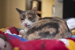 A9__DSC3165_C1 (Bazoka+Cynthia) Tags: pupu cat 小婆 新北市 樹林區 貓