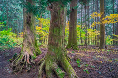 Autunm in Japenese forest (Tacksoon) Tags: japan autunm forest green yellow trees tree