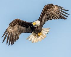 Bald Eagle (Andy Morffew) Tags: baldeagle homer alaska bif inflight andymorffew morffew explored inexplore mostviewedphoto topphotoonflickr