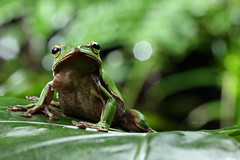 2J4A8055 (ajstone2548) Tags: 12月 樹蛙科 兩棲類 翡翠樹蛙