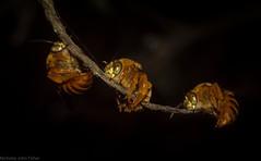 Amegilla bombiformis (dustaway) Tags: lismore northernrivers nature nsw australia arthropoda insecta hymenoptera apidae anthophorini amegillabombiformis teddybearbee australianinsects beesbeesbeesadminfave