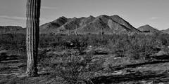 Desert Mountain (greenschist) Tags: arizona blackwhite carnegieagigantea pinalcounty santanmountainregionalpark sonorandesert usa cacti cactus mountains saguaro square