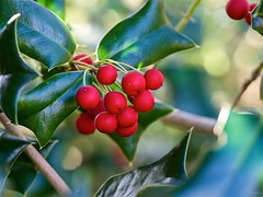 Christmas holly (takapata) Tags: olympus em5 m60mm f28 macro nature berries