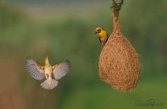 8 (TARIQ HAMEED SULEMANI) Tags: sulemani tariq tourism trekking tariqhameedsulemani winter wildlife wild birds nature nikon