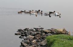 Cavendish Pond Ducks (peterkelly) Tags: digital canon 6d northamerica canada newfoundlandlabrador cavendish rocky rocks rock ducks flock duck swimming shore bank