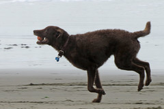 Dog running with ball in mouth Ocean Beach San Francisco 190118-134352 cw50 C4 (Charlie Wambeke Photography) Tags: dog dogrunning dogonoceanbeachsanfrancisco dogrunningwithballinmouth water pacificocean browndog charliewambekephotography charliesphotoart charliewambekephoto charliewambekephotograph charliesphotoartcom charliewambekephotographycom canonpowershotsx50photograph canonsx50photograph canonsx50photo wambekeandwambekephoto wambekeandwambekephotography wambekeandwambeke wambekeandwambekephotographyandquilting