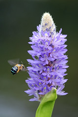 Blue Banded Bee 017 (DMT@YLOR) Tags: native bluebandedbee nature wildlife outside outdoors summer nerimagardens ipswich queensland australia aussie purple mauve blue green flight pickerelweed flora fauna