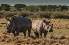 Rhinos (selvagedavid38) Tags: safari rhino wildlife animal africa horns botswana