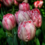 Sonnenberg Gardens & Mansion ~ Historic Park ~ Canandaigua NY - Painted Tulip thumbnail