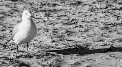 Semaphore Adelaide SA (Helen C Photography) Tags: semaphore adelaide australia beach ocean summer evening sunset water seagulls birds animals monochrome