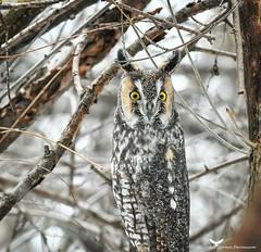 Moyenduc8_FB (ronaldgauthier) Tags: moyenduc owl owls nature naturephotography wildlife wildlifephotography longearedowl winter birdsofprey birds