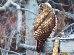 Hawk (starmist1) Tags: redtailedhawk hawk swingset morning january winter cold raisedbed raptor predator backyard trees branch limb twigs crossbeam metalsupports rust bolts yard perch